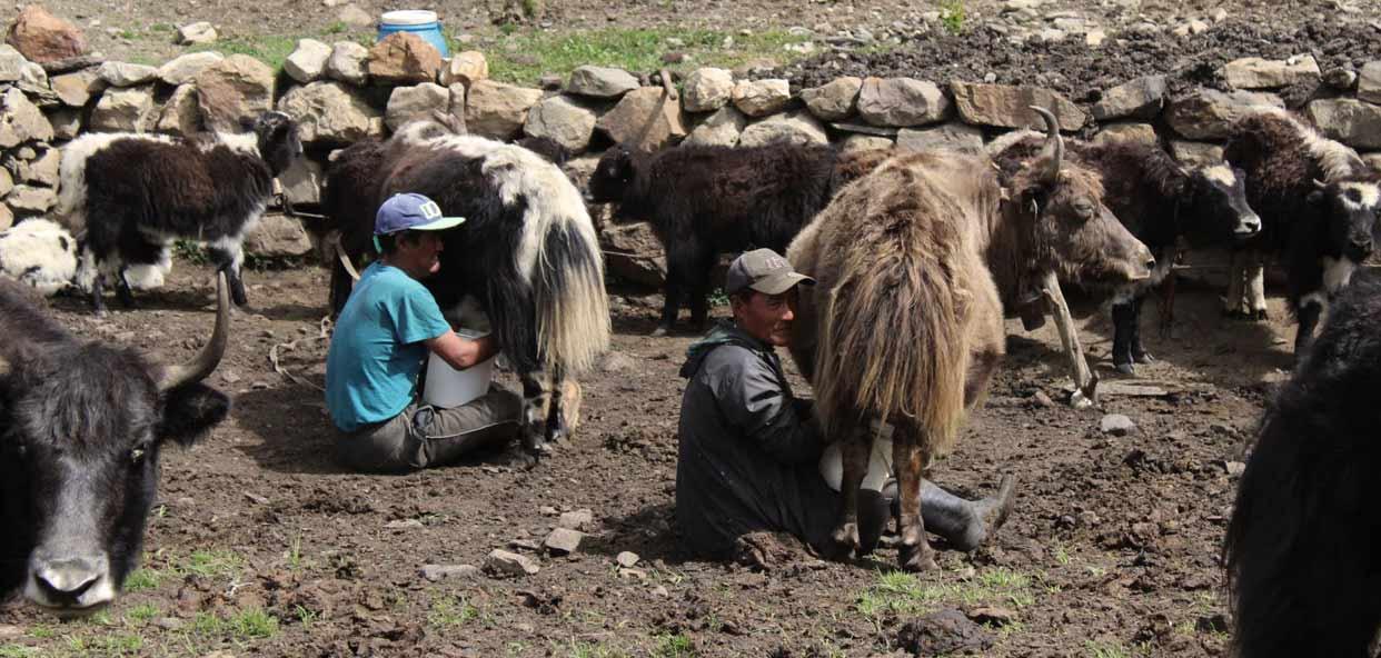 Convivencia-culturas-Yak-Nepal