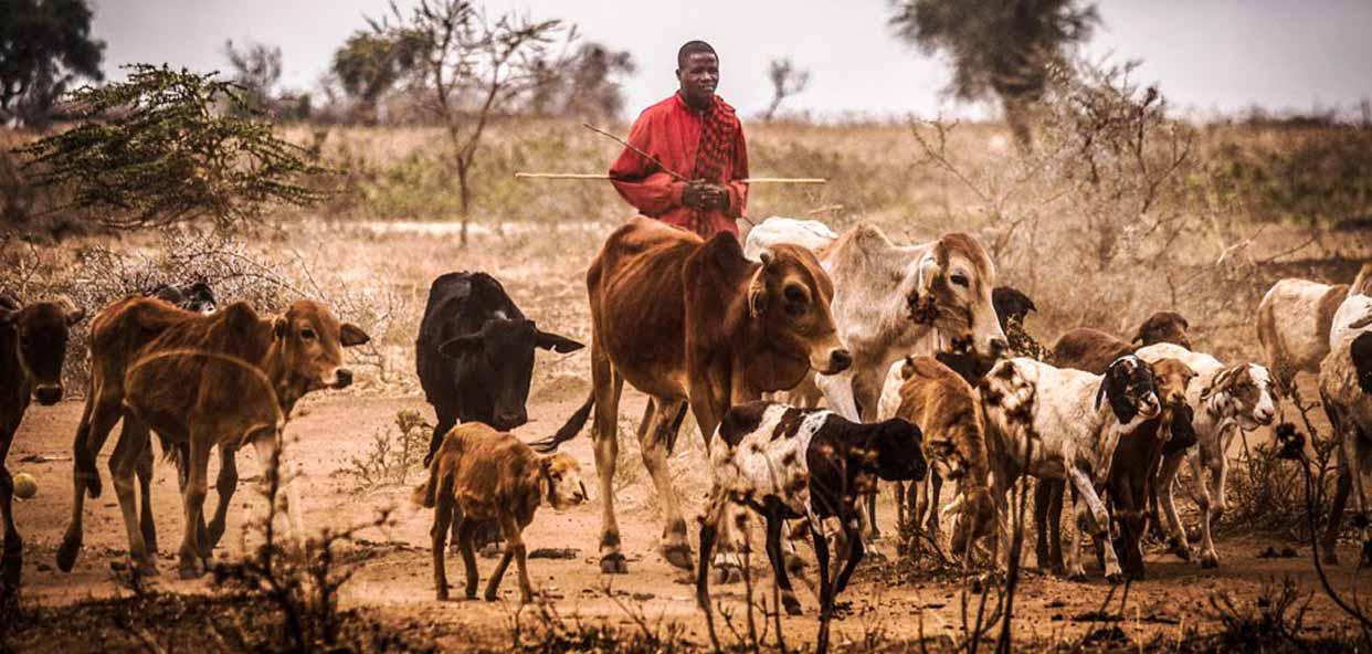 Cuidado-y-pastoreo-aniamles-tanzania-monduli
